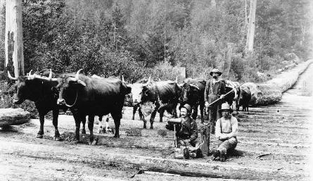 oxen hauling logs over skid road