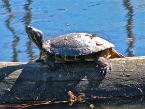 Western Painted Turtle - Linley Valley West