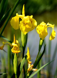 yellow flag iris - invasive plant killing Buttertubs Marsh